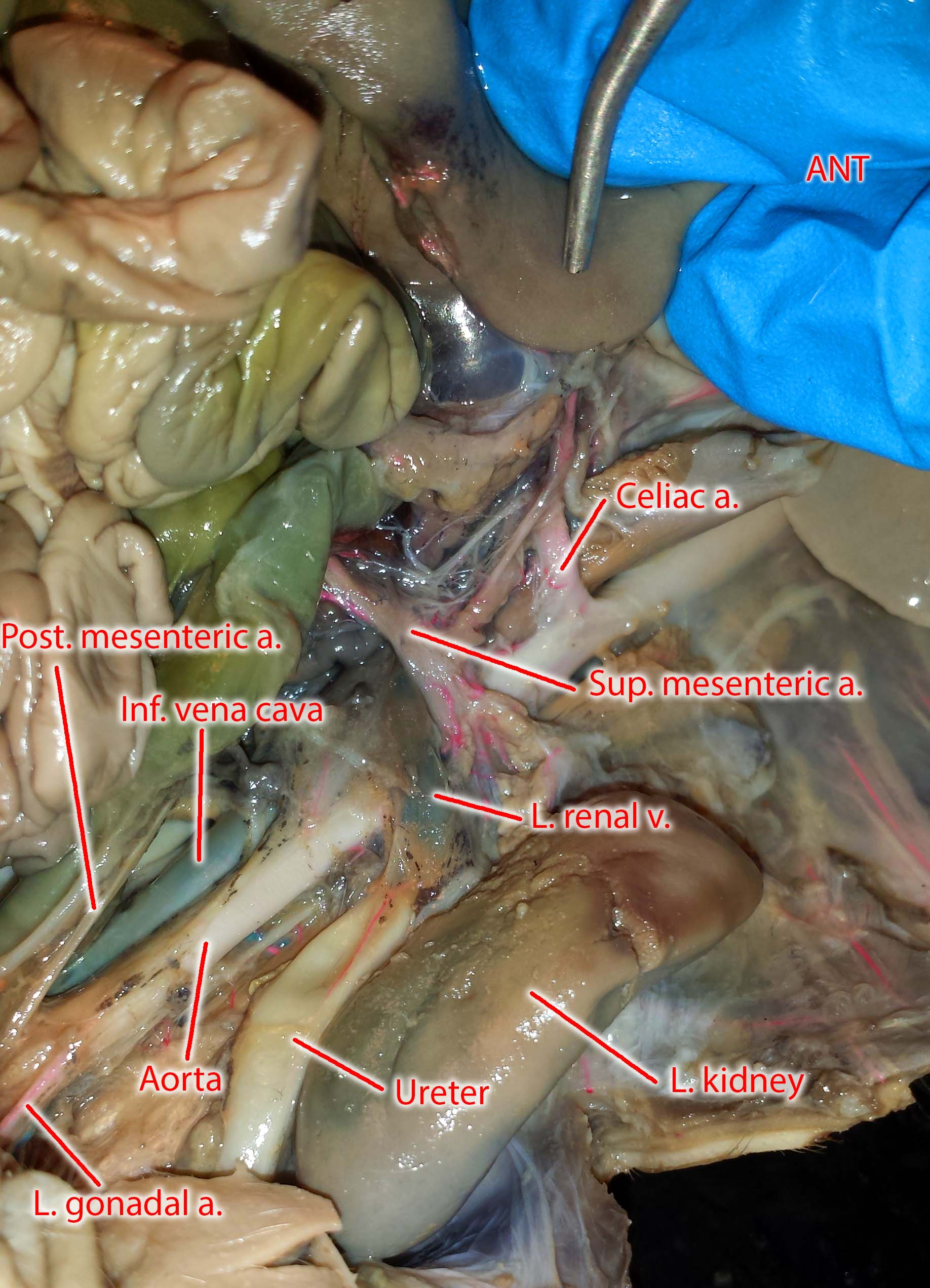 Photographs of the vessels of the fetal pig ccuart Choice Image